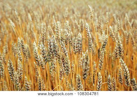Yellow Field Of Rye