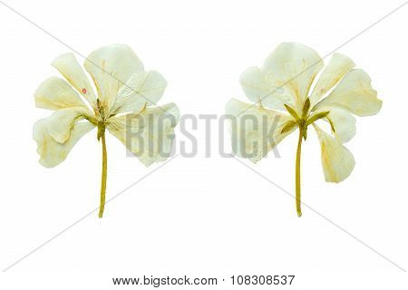 Pressed And Dried White Geranium Flower. Isolated On White Background.