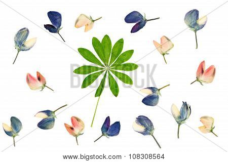 Set Of Pressed And Dried Flowers And Green Leaves Lupine Isolated On White Background.