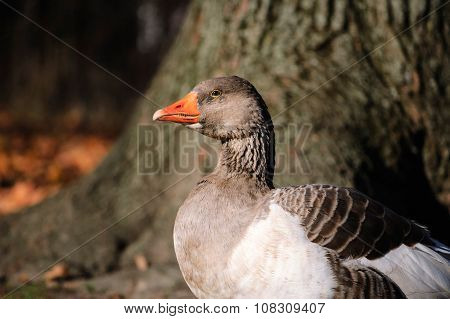 Portrait of a domestic goose