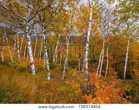 Birch tree foliage landscape