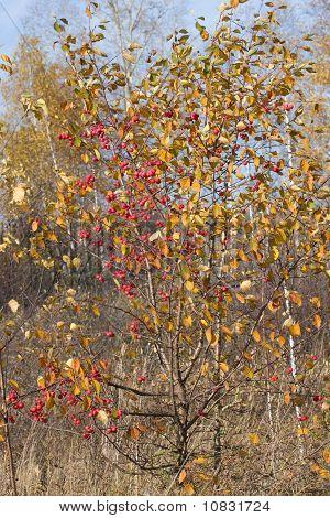 Wild Apple-tree