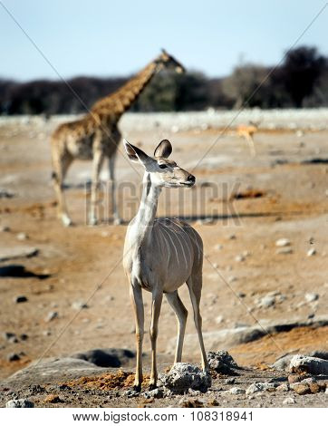 A female Kudu on the plains with a giraffe in the background