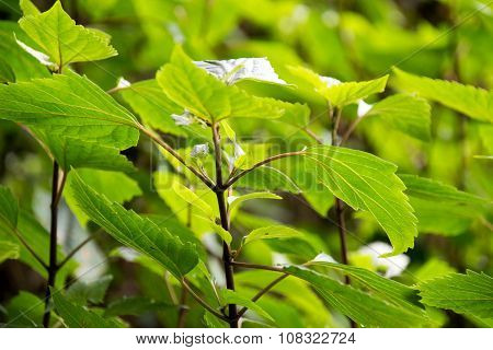 Beautyful leaf of Mulberry is close-up background