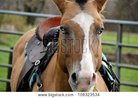 Bright blue-eyed horse in corral