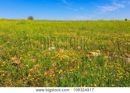 Spring flowers and fresh grass. Israel. Legendary Golan Heights in  beautiful sunny day