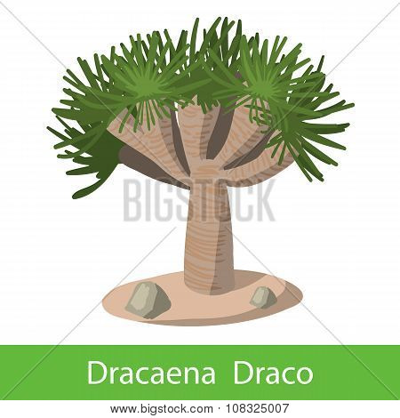 Dragon tree on a white background