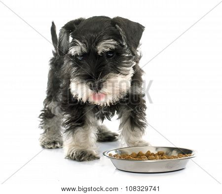 Eating Puppy Miniature Schnauzer