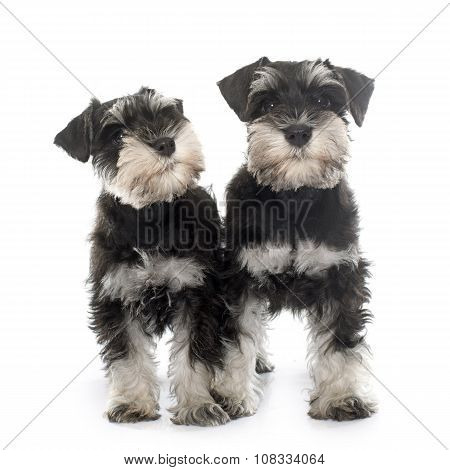 Puppies Miniature Schnauzer