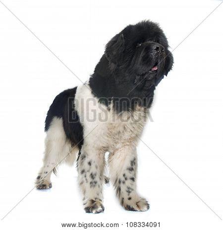 Adult Newfoundland Dog