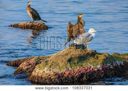 Marine Birds On The Rocks