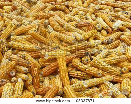 Corn drying in the Sun