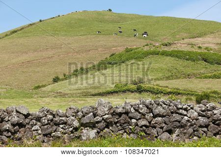 Azores Rural Landscape In Sao Miguel. Cows Over The Hill