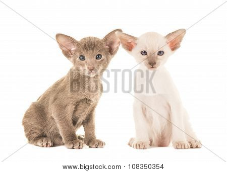 Cute sitting siamese baby cats