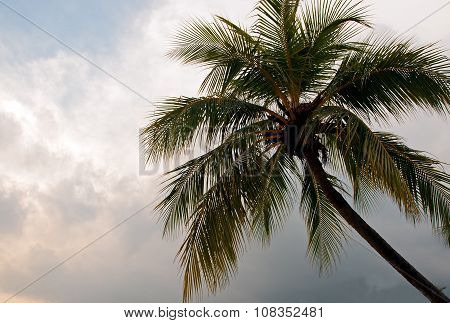Palm Tree Crown Against The Sky With Clouds .horizontal View.