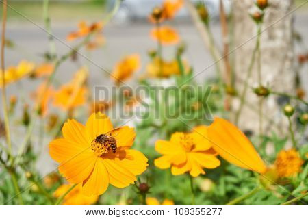 Bee Collect Pollen From Yellow Flower