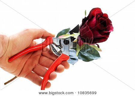Cutting Rose With Clipping Path