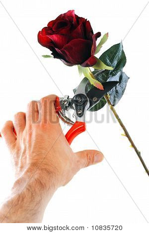 Rose Cutting With Clipping Path