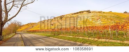 Vineyard Panorama In Autumn