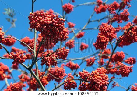 Ripe Rowan Berries On The Tree Against The Sky