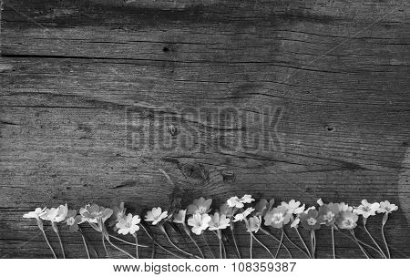 flowers primula in a old cracked wooden board
