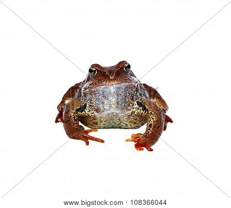 Brown Frog Isolated