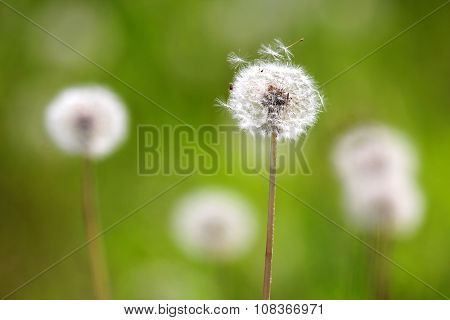 Macrophotography of white dandelion flowers Taraxacum officiale on green background