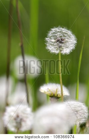 Macrophotography of multiple white dandelions Taraxacum officiale on the green and brown blurred bac