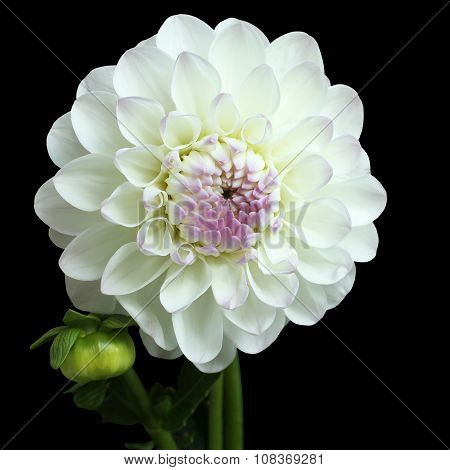 White with pink dahlia on black background