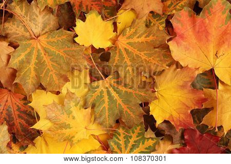 Autumn leaves background - dried  yellow, green, orange maple leaves