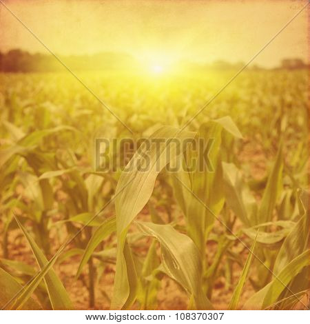 Green corn field at sunset in grunge style.