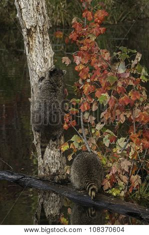 Two Raccoons (procyon Lotor) One Climbing Tree