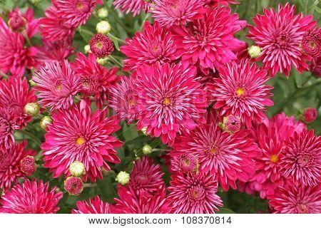 Small magenta chrysanthemum flowers on bush. Closeup