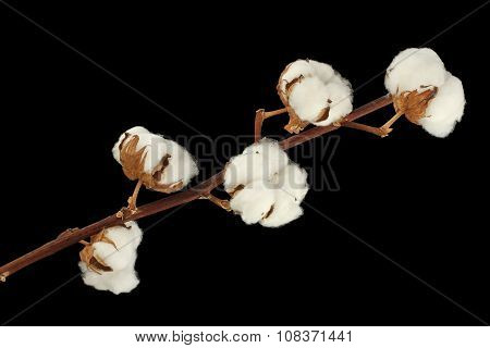 Cotton shrub branch isolated on black background