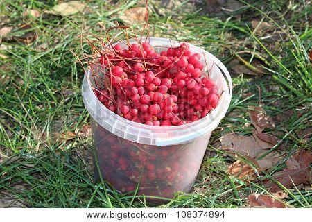Red Ripe Schizandra In The Bucket