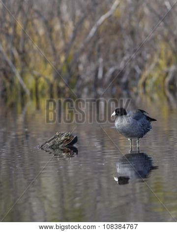 Coot Perched On Submerged Log.