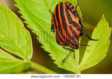 Red Black Striped Shield Bug Sitting On A Flower