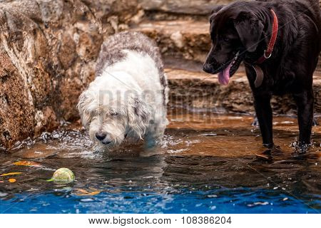 Labrador And Terrier Dog Playing In A Pool