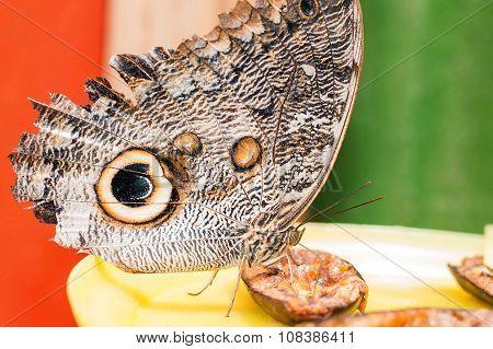 Owl Butterfly In Amazon Rainforest