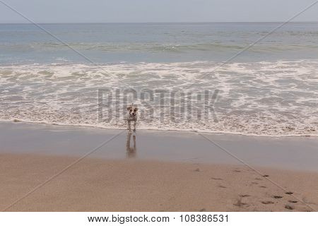 Jack Russell Terrier Playing With The Waves