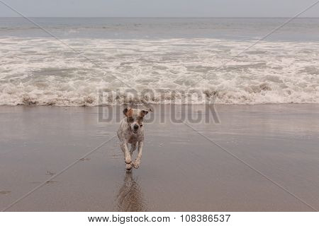Jack Russell Terrier Running At Full Speed