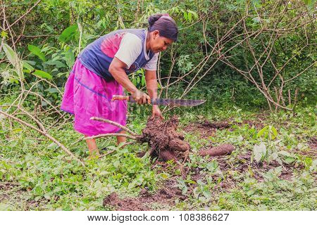 Siona Woman Cutting Yucca From The Garden