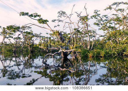 Mangrove Trees, Cuyabeno National Park
