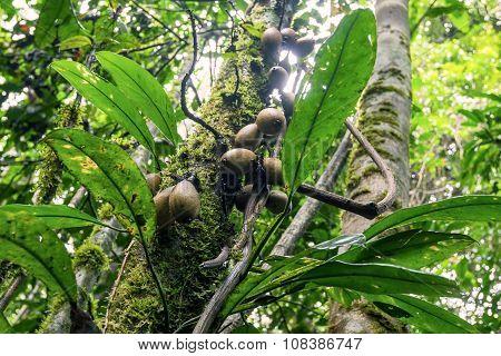 Cocoa Pods, South America