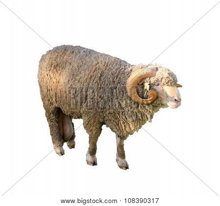 Arles Merino Sheep, Ram, Isolated On White Background