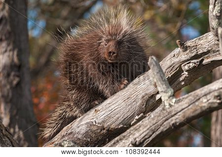 Porcupine (erethizon Dorsatum) Looks Down From Branches