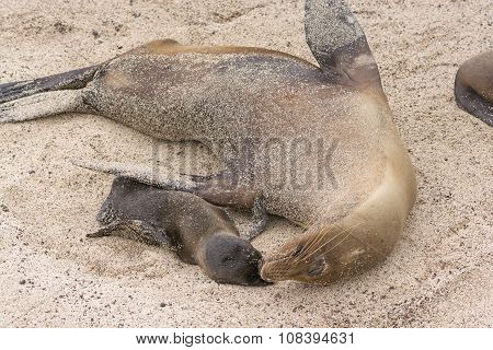 Mother And Baby Sea Lion On The Beach