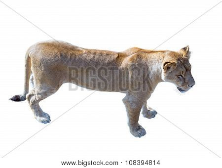 Large Beautiful Lioness