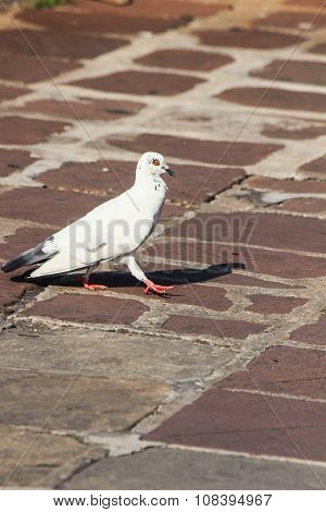 White pigeon walks.