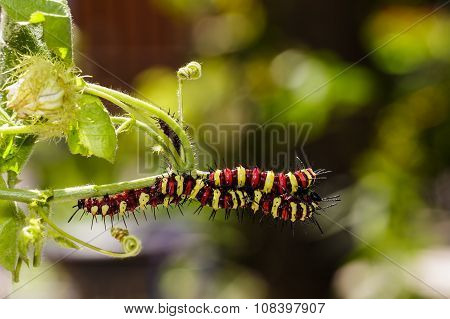 Caterpillar Of Leopard Lacewing (cethosia Cyane Euanthes) Butterfly
